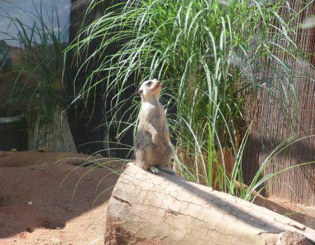 Erdmännchen im Tiergarten Ulm | Blogbeitrag | Hotel Adler